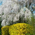 beautiful weeping cherry in bloom